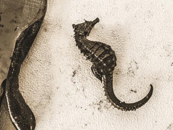 madhouse seahorse-sepia